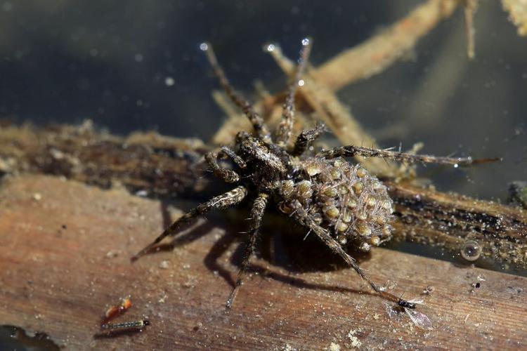 Pardosa amentata - femelle avec ses petits sur le dos © Marc Corail - Parc National des Ecrins