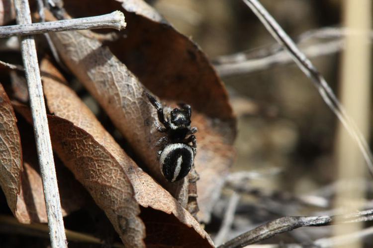 Pellenes geniculatus © Damien Combrisson - Parc national des Ecrins