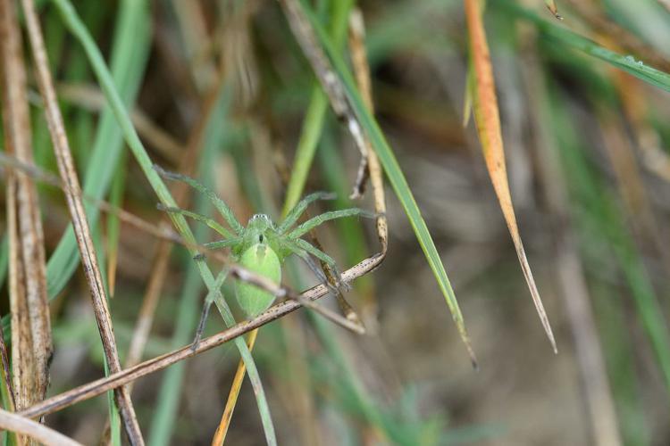 Micrommate émeraude © Mireille Coulon - Parc national des Ecrins