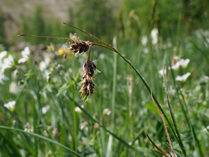 Luzule penchée © Marie-Geneviève Nicolas - Parc national des Ecrins