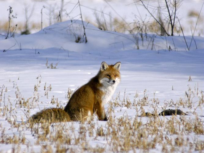 Renard roux © Damien Combrisson - Parc national des Ecrins