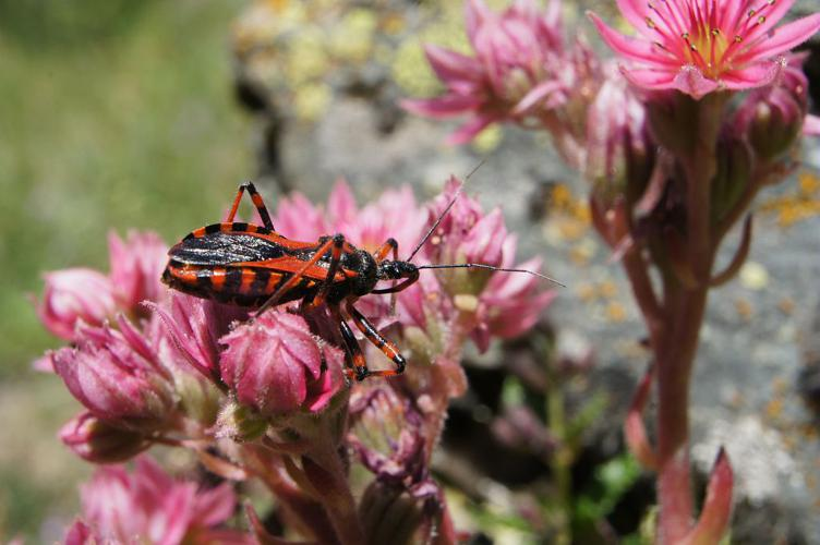 Rhynocoris iracundus © Ludovic Imberdis - Parc national des Ecrins