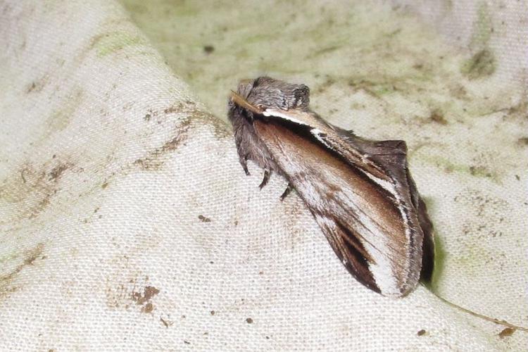 Bombyx Dictéoide (Le), Faïence (La) - ATBI du Lauvitel © Marc Corail - Parc National des Ecrins