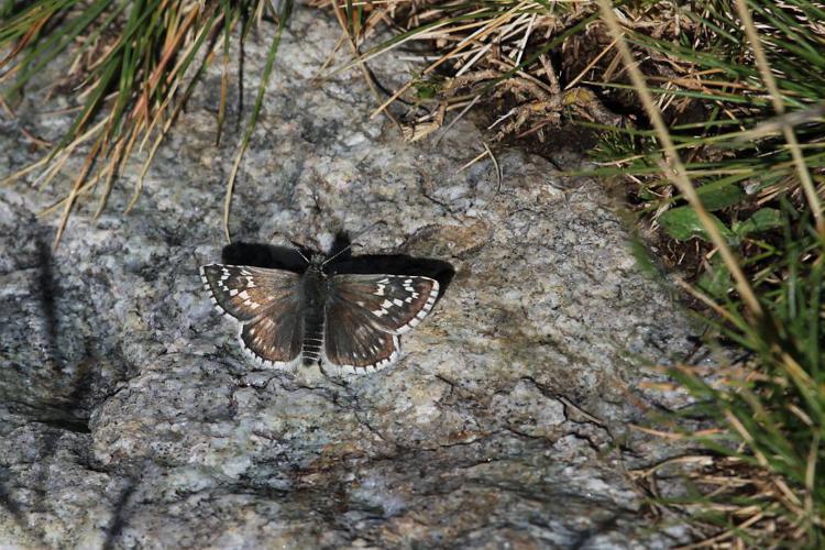 Hespérie du Carthame (L'), Bigarré (Le), Grande Hespéride (La), Plain-Chant (Le) © Marc Corail - Parc National des Ecrins