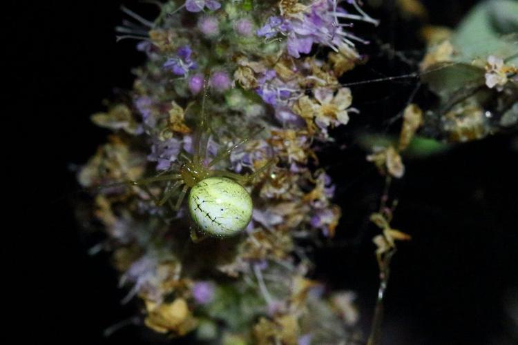 Enoplognatha ovata © Marc Corail - Parc National des Ecrins