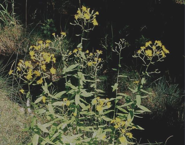 Épervière à feuilles de prénanthes, Épervière faux Prénanthe © Bernard Nicollet - Parc national des Ecrins