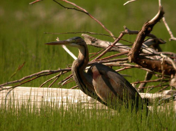 Héron pourpré © Damien Combrisson - Parc national des Ecrins