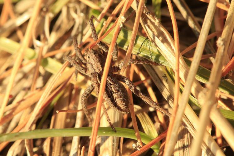 alopecosa farinosa © Marc Corail - Parc National des Ecrins