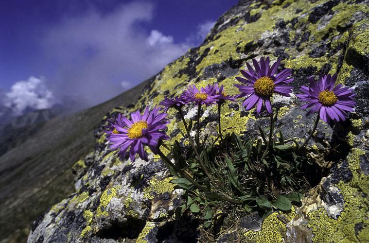 Aster des Alpes © Denis Fiat - Parc national des Ecrins