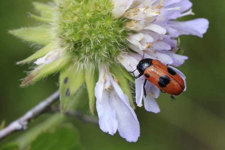 Clytra laeviuscula © Marc Corail - Parc National des Ecrins
