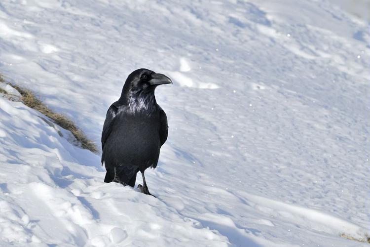 Grand corbeau © Mireille Coulon - Parc national des Ecrins