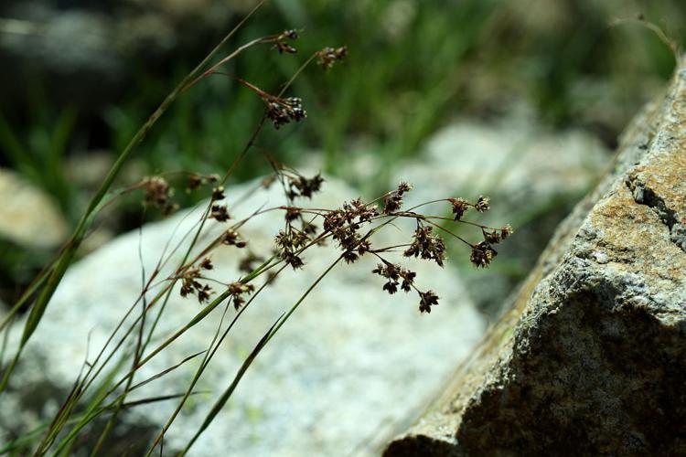 Luzule marron, Luzule rouge-brun © Cédric Dentant - Parc national des Ecrins