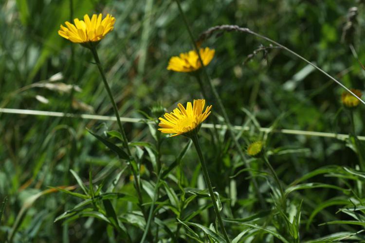 Buphtalme oeil-de-boeuf, Oeil-de-boeuf © Cédric Dentant - Parc national des Ecrins
