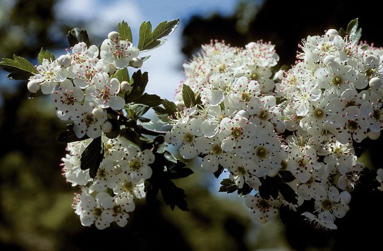 Aubépine à un style, Épine noire, Bois de mai © Bernard Nicollet - Parc national des Ecrins