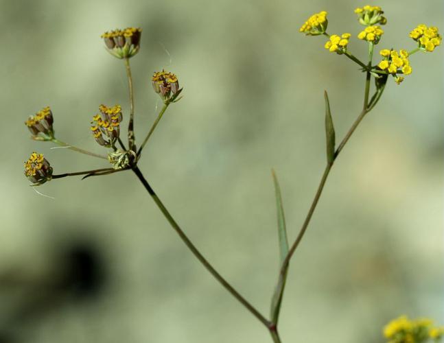 Buplèvre en faux, Percefeuille © Cédric Dentant - Parc national des Ecrins