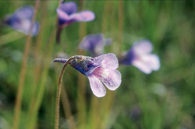 Grassette commune, Grassette vulgaire © Bernard Nicollet - Parc national des Ecrins
