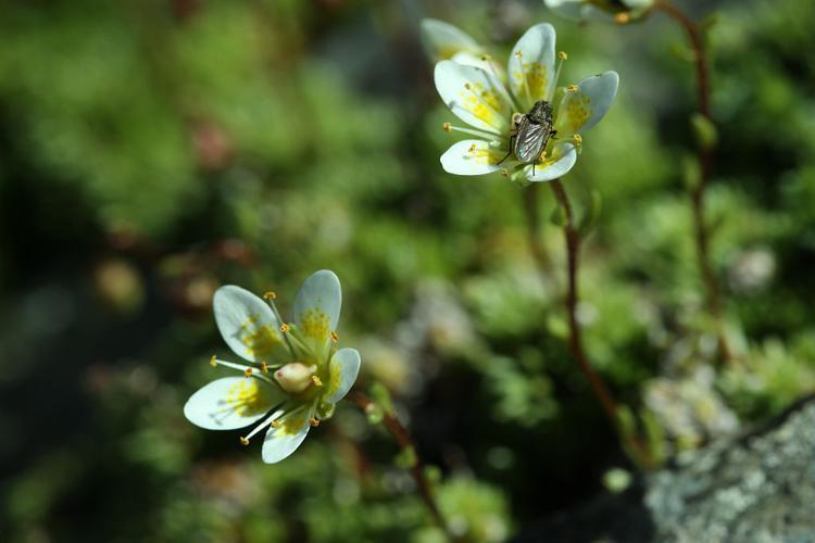 Saxifrage d'Auvergne © Cédric Dentant - Parc national des Ecrins