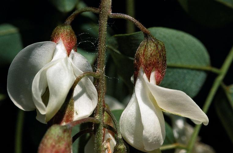Robinier faux-acacia, Carouge © Mireille Coulon - Parc national des Ecrins