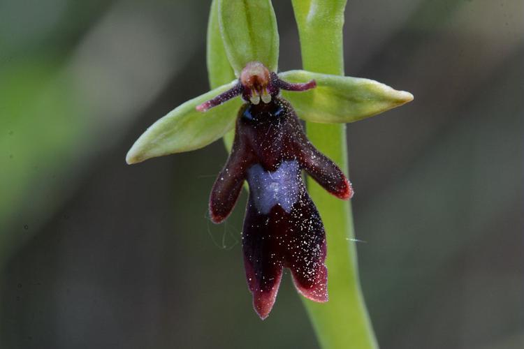 Ophrys mouche © Bernard Nicollet - Parc national des Ecrins