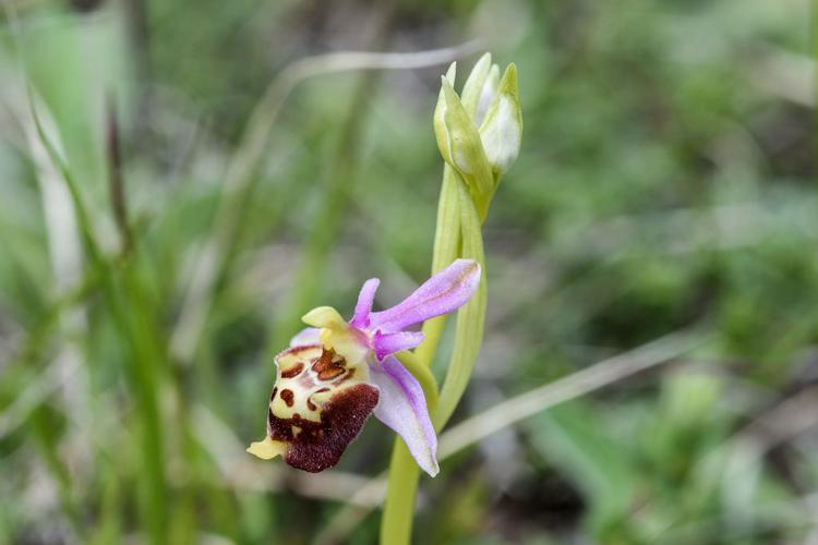 Ophrys bourdon, Ophrys frelon © Mireille Coulon - Parc national des Ecrins
