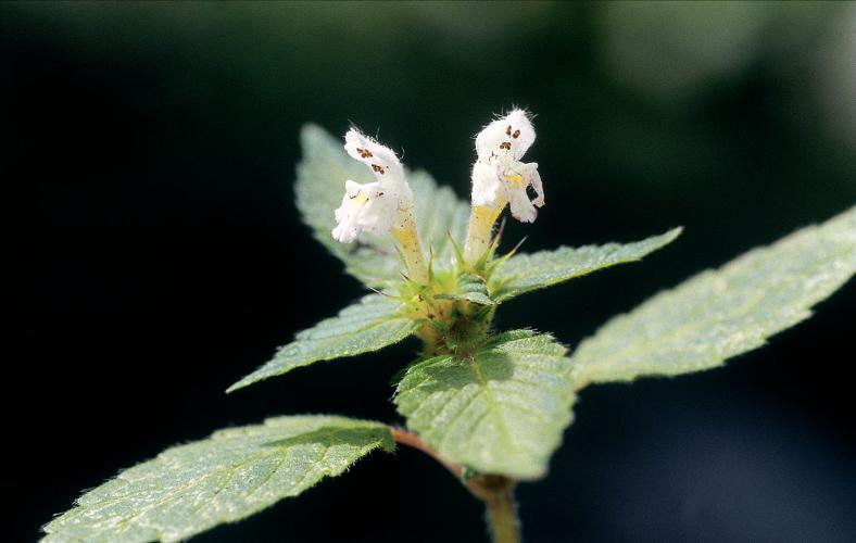 Galéopsis tétrahit, Ortie royale © Robert Chevalier - Parc national des Ecrins
