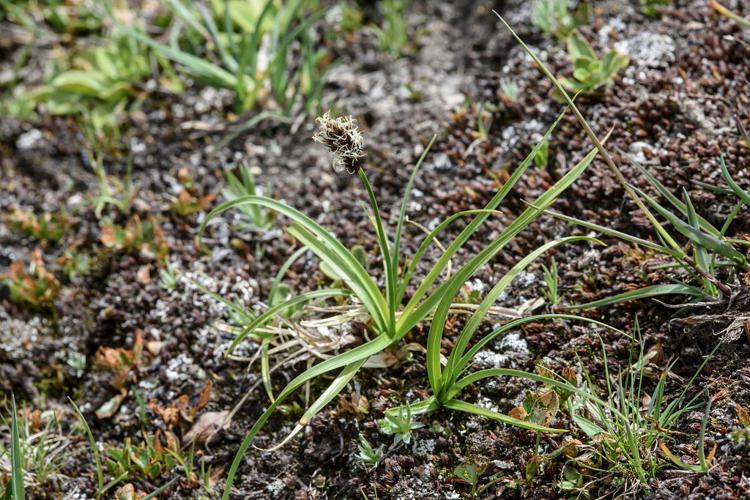 Laîche fétide © Mireille Coulon - Parc national des Ecrins