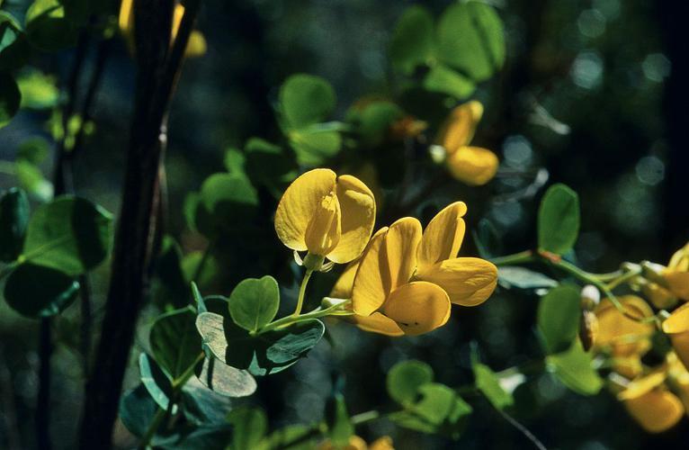 Cytise à feuilles sessiles, Cytisophylle à feuilles sessiles © Bernard Nicollet - Parc national des Ecrins