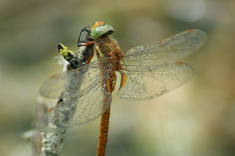 Aeschne isocèle © Donovan Maillard - Parc national des Ecrins