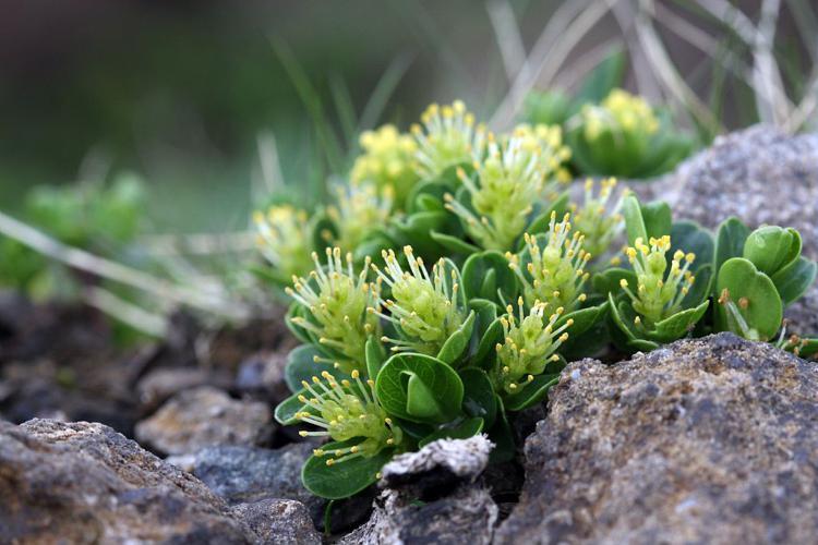 Saule à feuilles émoussées, Saule à feuilles tronquées © Cédric Dentant - Parc national des Ecrins