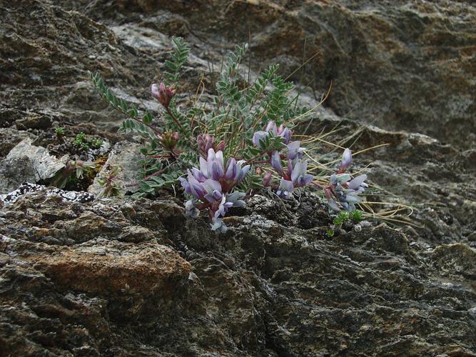 Oxytropis de Suisse, Oxytropis de Gaudin © Bernard Nicollet - Parc national des Ecrins