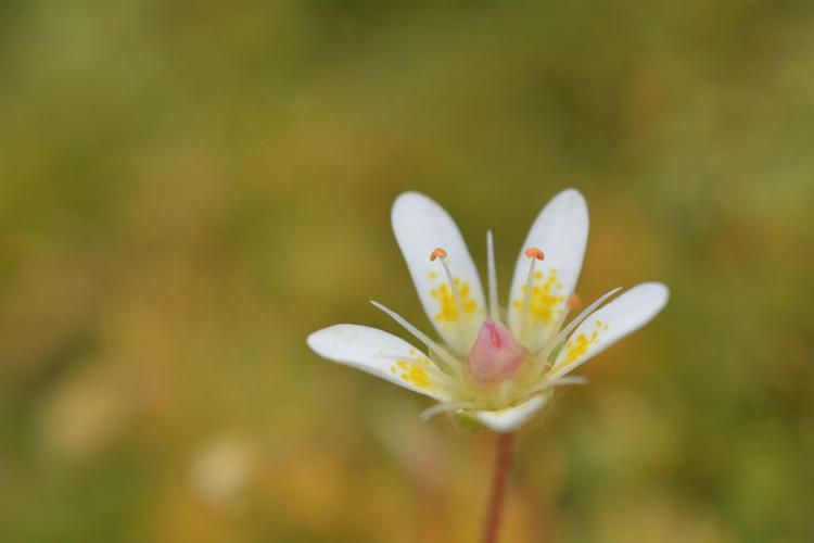 Saxifrage étoilée © Mireille Coulon - Parc national des Ecrins