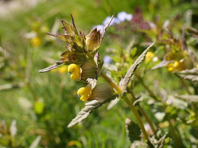 Petit cocriste, Petit Rhinanthe © Marie-Geneviève Nicolas - Parc national des Ecrins