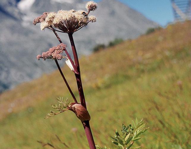 Angélique sauvage, Angélique sylvestre, Impératoire sauvage © Bernard Nicollet - Parc national des Ecrins