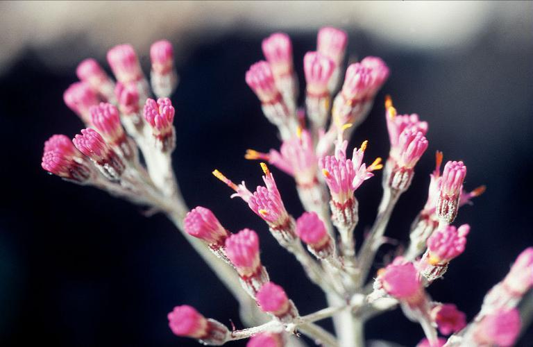 Adénostyle à feuilles blanches © Bernard Nicollet - Parc national des Ecrins