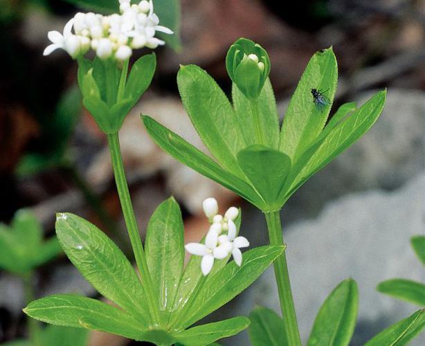 Aspérule odorante, Belle-étoile, Gaillet odorant © Parc national des Ecrins
