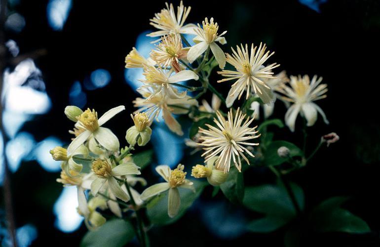 Clématite des haies, Herbe aux gueux © Jean-Pierre Nicollet - Parc national des Ecrins