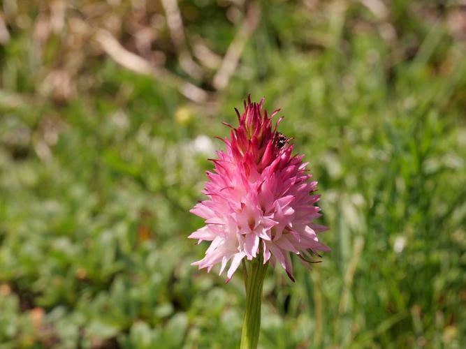 Nigritelle de Cornelia, Nigritelle rose © Marie-Genenviève Nicolas - Parc national des Ecrins