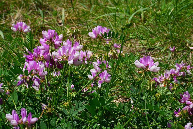 Coronille changeante © Marie-Geneviève Nicolas - Parc national des Ecrins