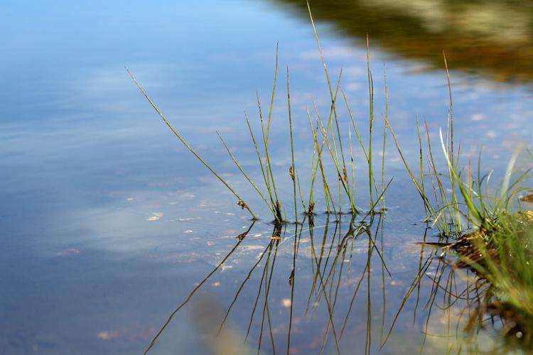 Jonc filiforme © Cédric Dentant - Parc national des Ecrins