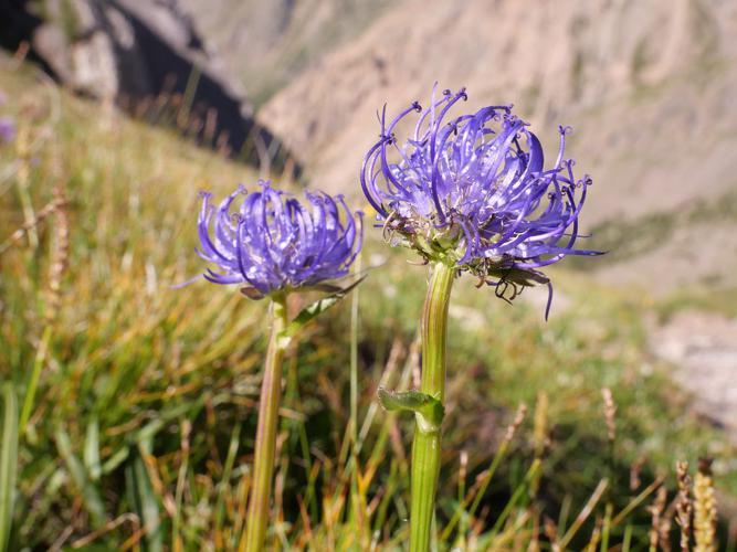 Raiponce orbiculaire © Marie-Geneviève Nicolas - Parc national des Ecrins