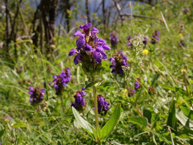 Brunelle à grandes fleurs © Marie-Geneviève Nicolas - Parc national des Ecrins