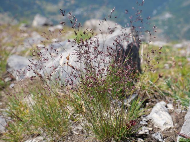 Agrostide des Alpes © Marie-Geneviève Nicolas - Parc national des Ecrins