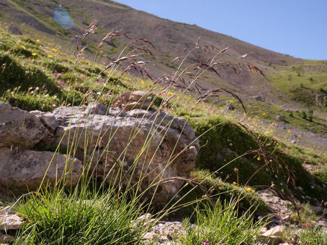 Avoine des montagnes © Marie-Geneviève Nicolas - Parc national des Ecrins