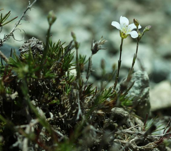 Alsine à feuilles de Mélèze, Minuartie à feuilles de Mélèze © Cédric Dentant - Parc national des Ecrins