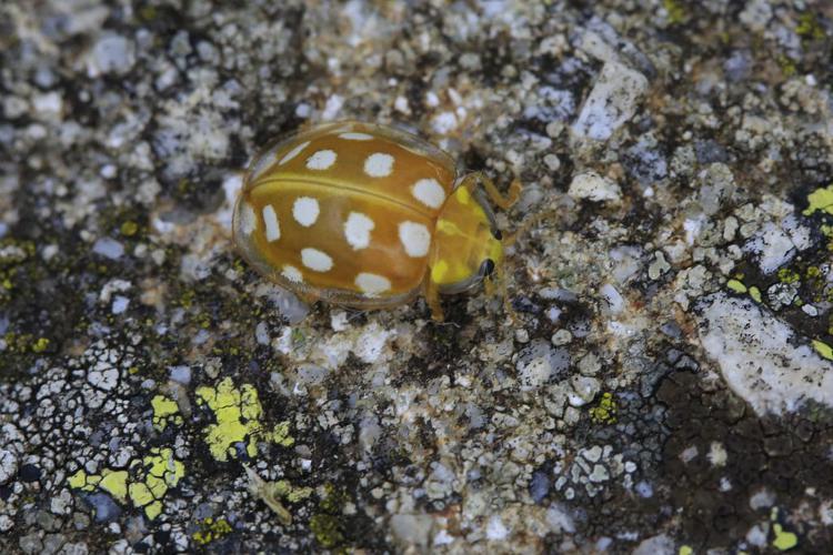 Halyzia sedecimguttata © Marc Corail - Parc National des Ecrins