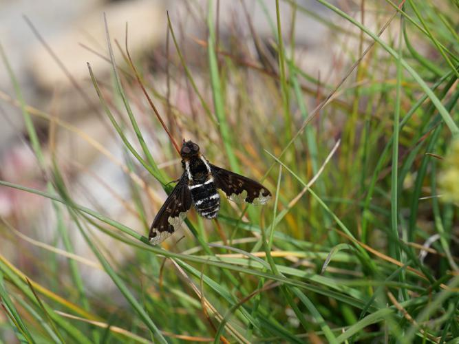 Hemipenthes maura © Marie-Geneviève Nicolas - Parc national des Ecrins