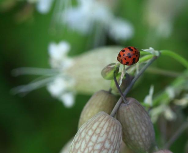 Subcoccinella vigintiquatuorpunctata © Marc Corail - Parc National des Ecrins