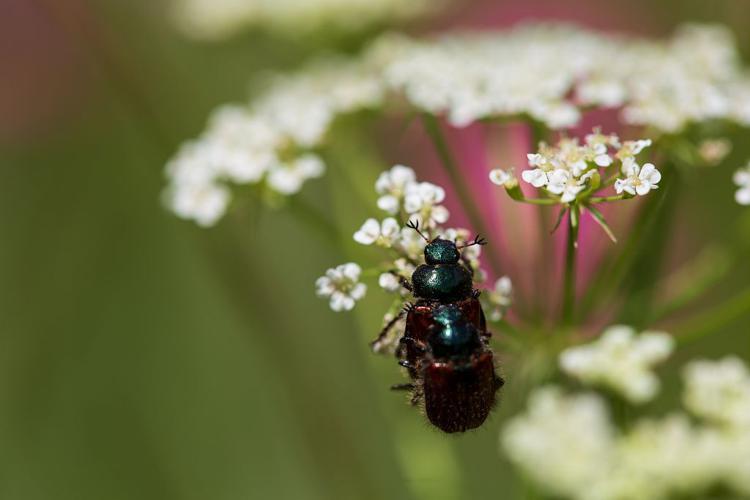 Phyllopertha horticola © Thierry Maillet - Parc national des Ecrins