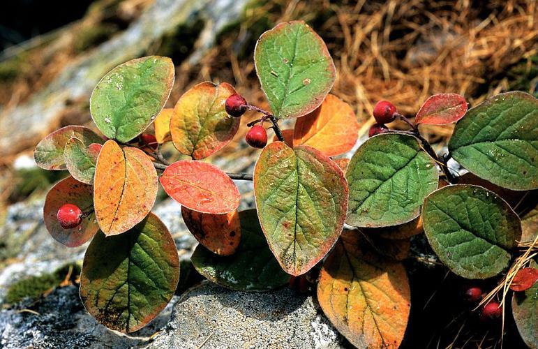 Cotonéaster tomenteux, Cotonéaster des monts Nébrodes - fruits © Bernard Nicollet - Parc national des Ecrins