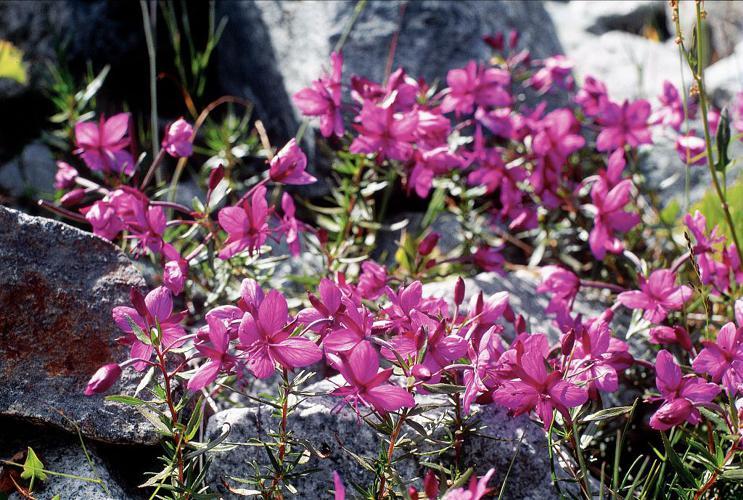 Épilobe de Fleischer © Daniel Roche - Parc national des Ecrins